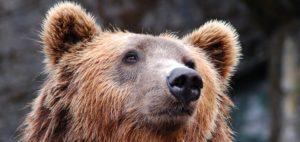 Tout savoir sur l'ours slovène